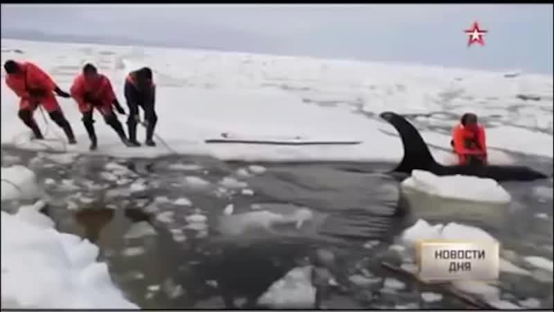 Как плачет кит убийца кадры спасения косатки Вилли из ледяного плена
