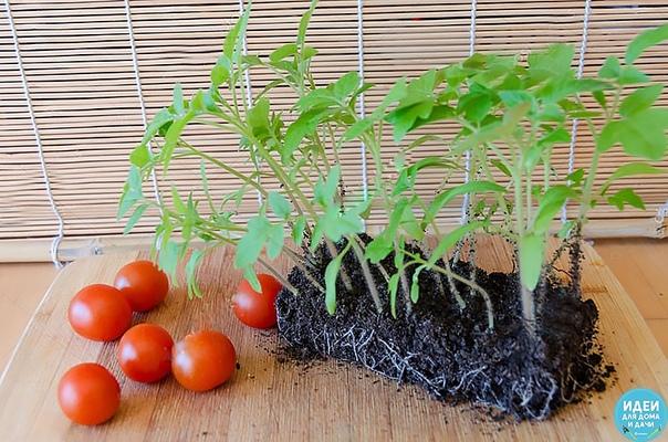 ЭКОНОМНЫЙ СПОСОБ ВЫРАЩИВАНИЯ РАССАДЫ ТОМАТОВ Хочу поделиться своим опытом выращивания рассады томатов при недостаточном количестве семян и нехватке места под посадочные емкости. Чтобы получить