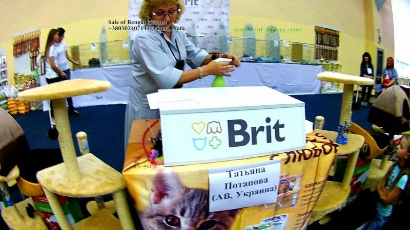 15092018, Выставка кошек, Харьков, Радмир Экспохолл, WCF, Ринг взрослых кошек