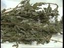 Agrimonia eupatoria Репешок обыкновенный