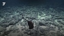 Учёные нашли на дне океана странную рыбу. Она выглядит как огромный рот с хвостом
