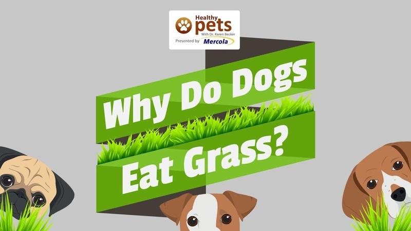 Почему собаки едят траву / Why Do Dogs Eat Grass?