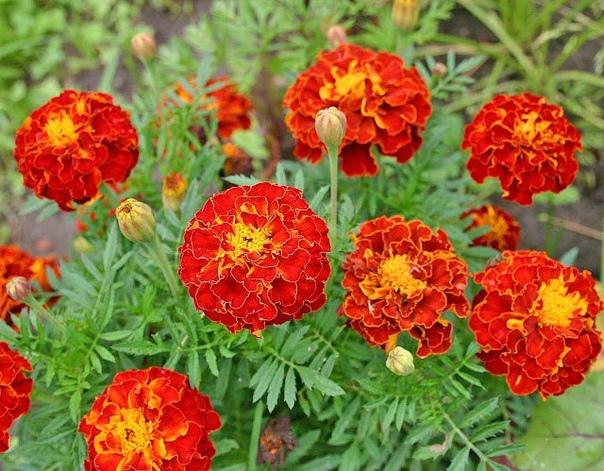 Растения отпугивающие вредителей сада Летом у дачников наряду с огородными хлопотами появляется постоянная проблема надоедливые комары, назойливые мухи, муравьи, гусеницы и другие неприятные