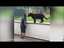Крадущаяся пантера и беззащитный человек