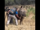 When a rhino demands a belly rub, you better rub that rhino like your life depends on it