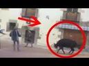 Una vaquilla grita y llora de dolor al intentar huir de las fiestas de San Mateo, Cuenca VÍDEO