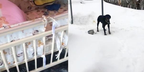 В Томске домашние собаки разорвали младенца... Трагедия произошла днем 13 февраля, когда женщина отошла во
