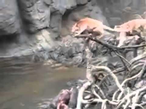 В американском зоопарке выдры загрызли обезьяну
