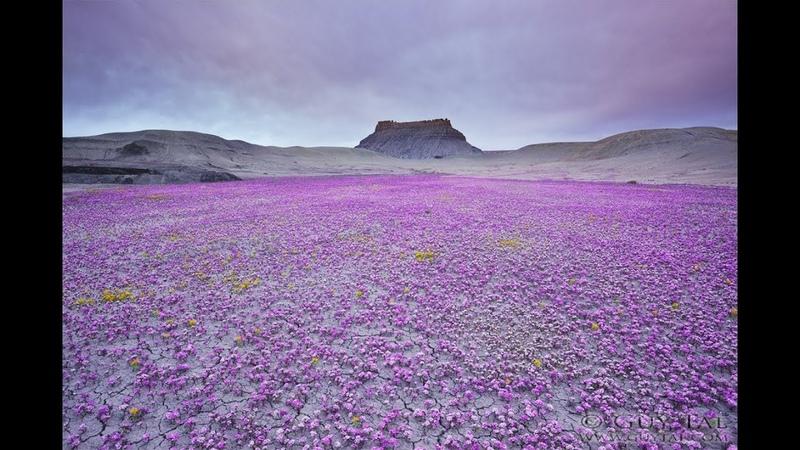 Пустыня зацвела Суперцветение началось в пустыне Анза-Боррего. Фото. Видео.