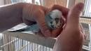 Как приручить строптивого волнистого попугая