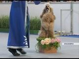 Танго и лезгинка с элементами акробатики в Красноярске прошел чемпионат по фристайлу для собак
