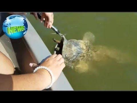 Новости В Техасе спасли огромного сома, подавившегося черепахой