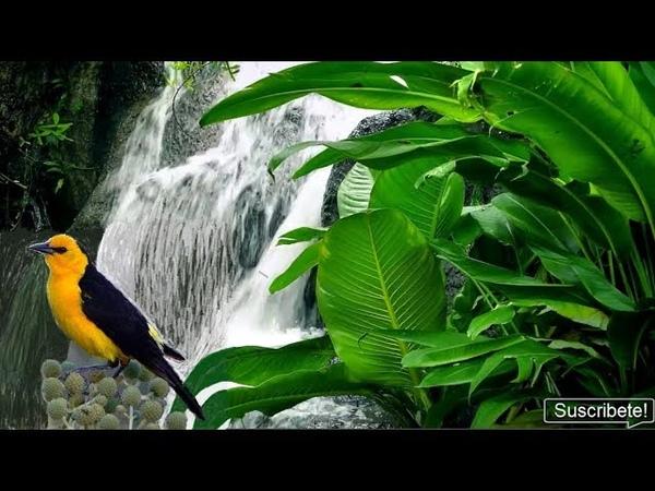 Canto de Pájaros-Sonido de Agua-Muy Relajante-Rainforest Sounds-Relaxing Nature Sounds