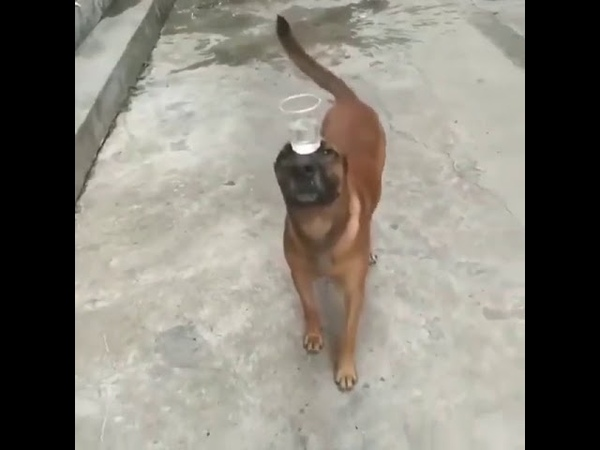 Собака несёт стакан с водой на носу