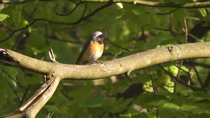 Пение птиц в природе.Горихвостка