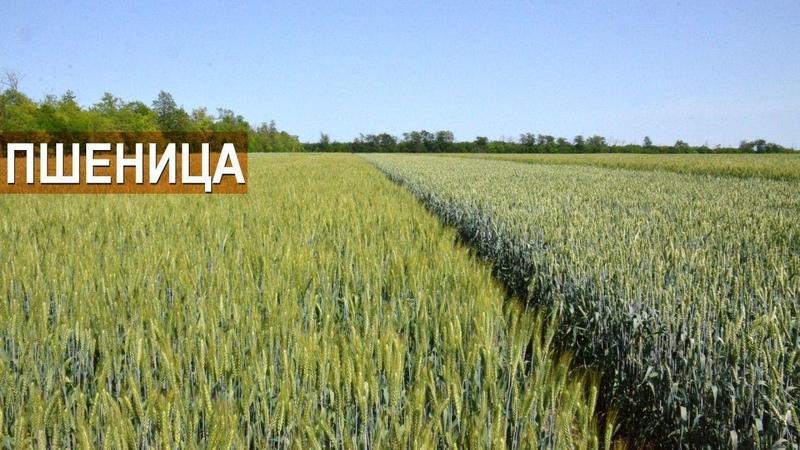 Демонстрационные участки с пшеницей. Осенняя обработка гербицидами. КФХ Колесниковых.