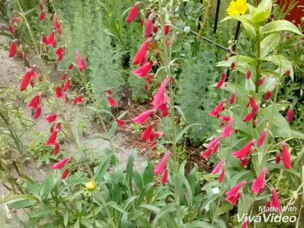 Перезвон садовых колокольчиков Campanula