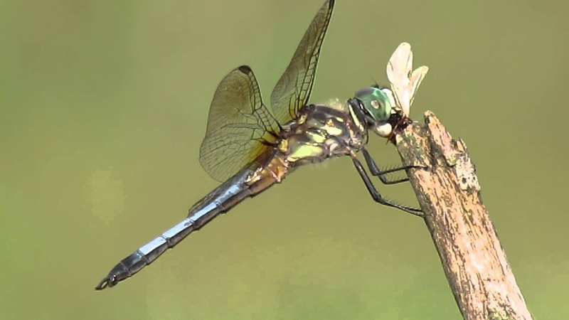 Male Blue Dasher Dragonfly Eating