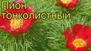 Пион тонколистный. Краткий обзор, описание характеристик, где купить саженцы paeonia tenuifolia