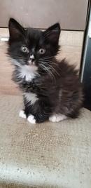 У нас остался один котенок , возраст 2 мес, курильский бобтейл, предлагаем в любимцы. Чистокровный к