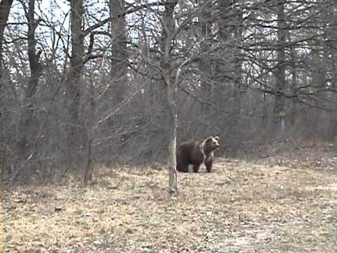 Медведь и гаишник.