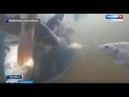 В водах Волги - пополнение: акцию по зарыблению реки провели жители Волжска - Вести Марий Эл