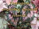 Размножение Бегоний укоренение листовых черенков Бегоний Самарский Дом Фиалки