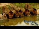 Wild Animals Fighting In The Wild - World Wild Animal Video Crocodile vs Lion