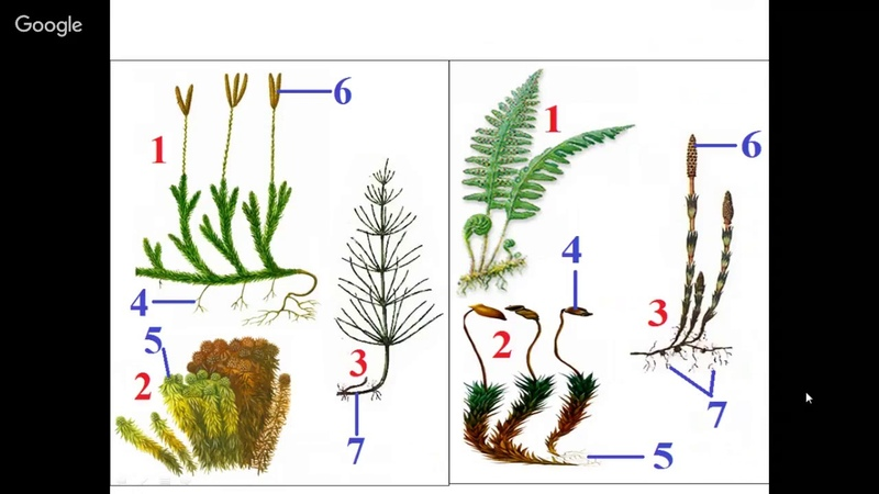 Биология 5 класс Неделя 34 Папоротникообразные Голосеменные