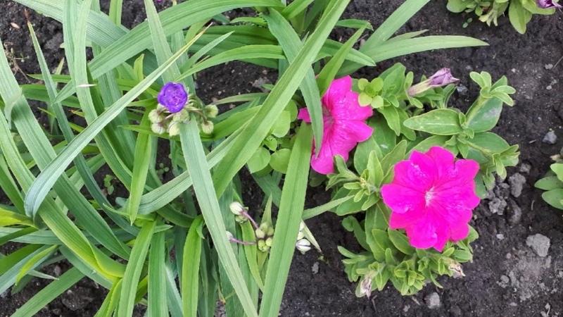 Цветы для клумбы цветущие все лето Санкт Петербург