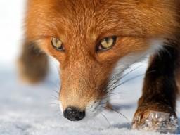 В Донецке появились лисы. Есть случаи нападения на людей