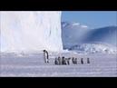 Emperor Penguin Chicks on Excursion