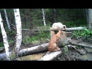 Лоси_рысь_волк на Таганае