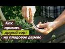 Как привить другой сорт на плодовое дерево? Инструкция по летней прививке