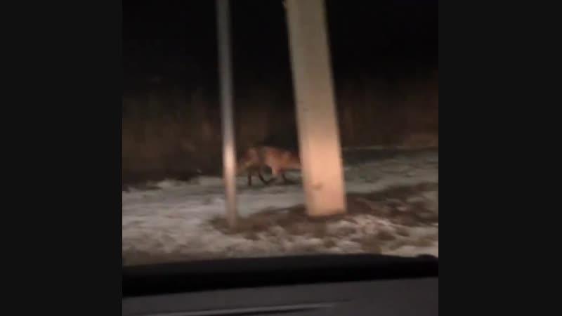 Голодная лиса,переходит по пешеходке Иваново