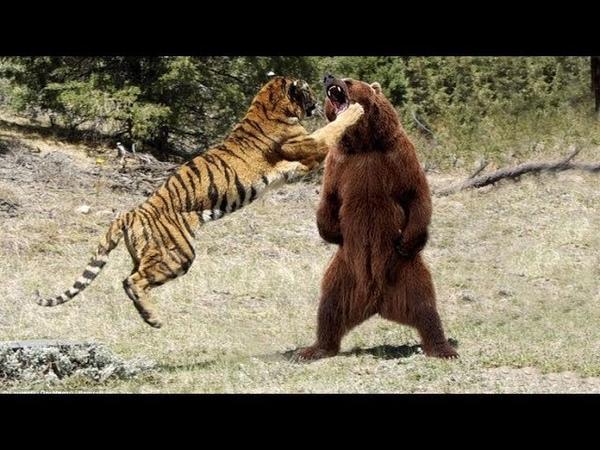 МЕДВЕДЬ В ДЕЛЕ Медведь против льва тигра волка