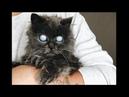Слепой кот с лунными глазами: впечатляющая судьба дымчатого питомца по кличке Мерлин