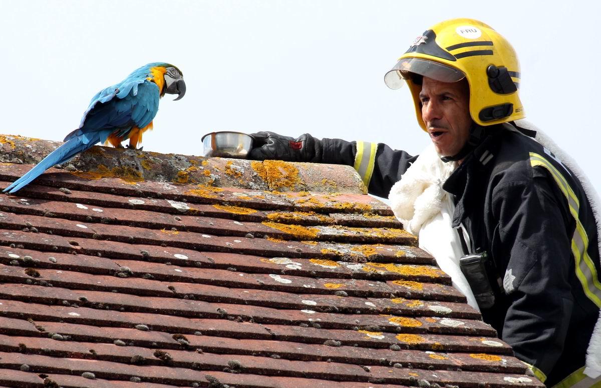 Ну иди ко мне, моя цыпочка!: Пожарный и попугай на крыше дома в пригороде Лондона