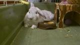 Кроль зевает