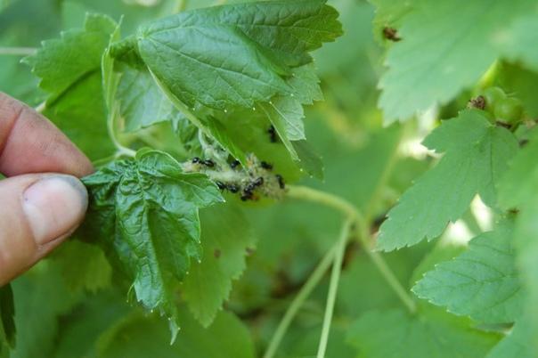 Прогоняем муравьев со смородины