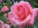 *** Слайд-Шоу для Вас - Роза Королева Цветов ***