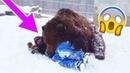 Огромный Медведь Схватил Мужчину И Повалил На Землю, Но Все Закончилось Неожиданно