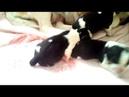 Рождение щенков бигля 2 девочек и один мальчик