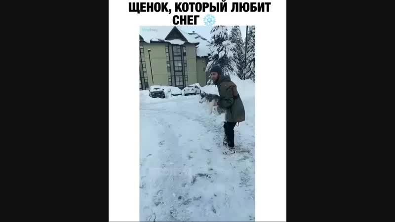Все хаски любят снег-это их природа😊