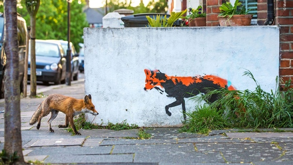 Лиса встречает лису :)