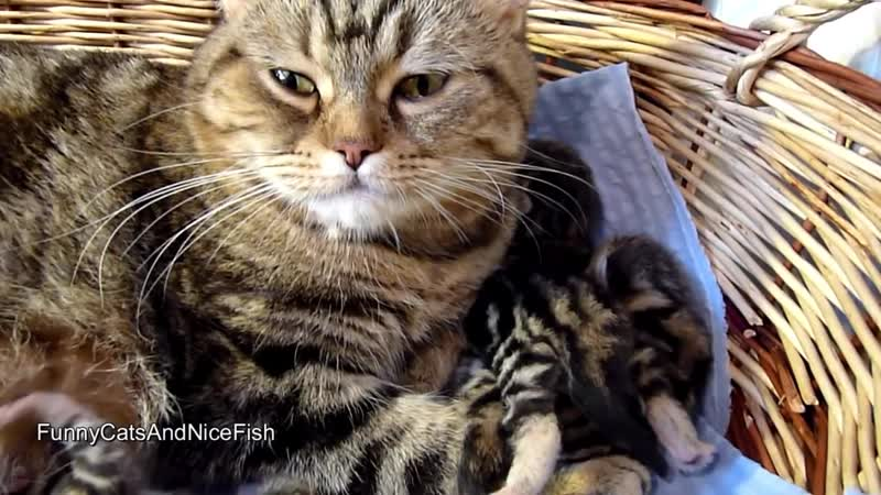 Mom Cat talking to her Cute Meowing Kittens
