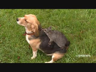 A pet beagle, distraught after losing her litter of puppies, has adopted a baby possum.