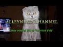 Маленький игривый котенок Скоттиш Фолд 🔴 😻