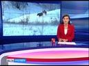 Подозреваемые в отстреле лосей заключены под стражу
