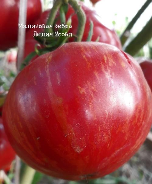 Малиновая зебра. Индет,до 2 метров. Вес от 250-500гр. Один из самых вкусных томатов,салатного назначения. Урожай